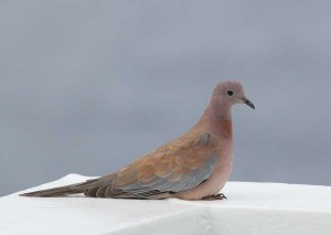 Laughing_Dove(2-10-13)_72dpi
