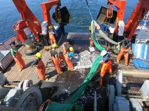 Die Fische werden aus dem Netz in ihre Boxen verteilt. Foto: Sophia Wagner