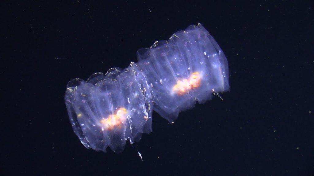 Pelagische Salpen / pelagic salps. Photo: JAGO-Team/GEOMAR