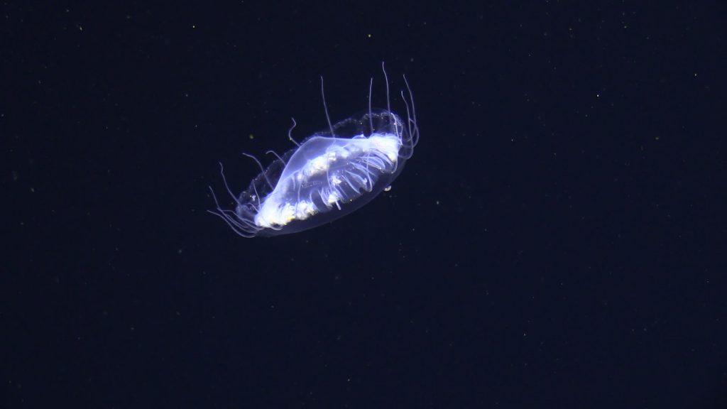 A fragile jellyfish drifting in deep water. Eine in der tiefen Wassersäule driftende Qualle. Foto JAGO-Team / GEOMAR