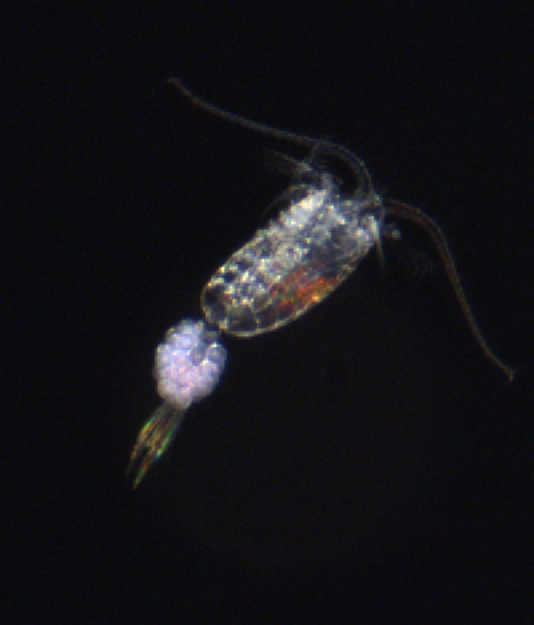 Ruderfußkrebs mit Eibeutel. / Copepod with eggsac. Photo: HZG