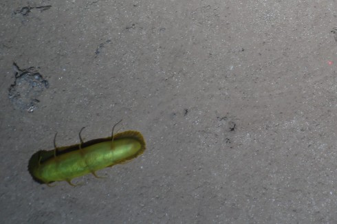 Solution 2: This is the brightest (and only) green holothurian type we have observed in the DISCOL area. Assumed to be a psychopotidae holothurian, it has two rows of spikes on its back , but it is the fringe around the body which produces the ripple pattern in its trail. IMAGE: OFOS AWI