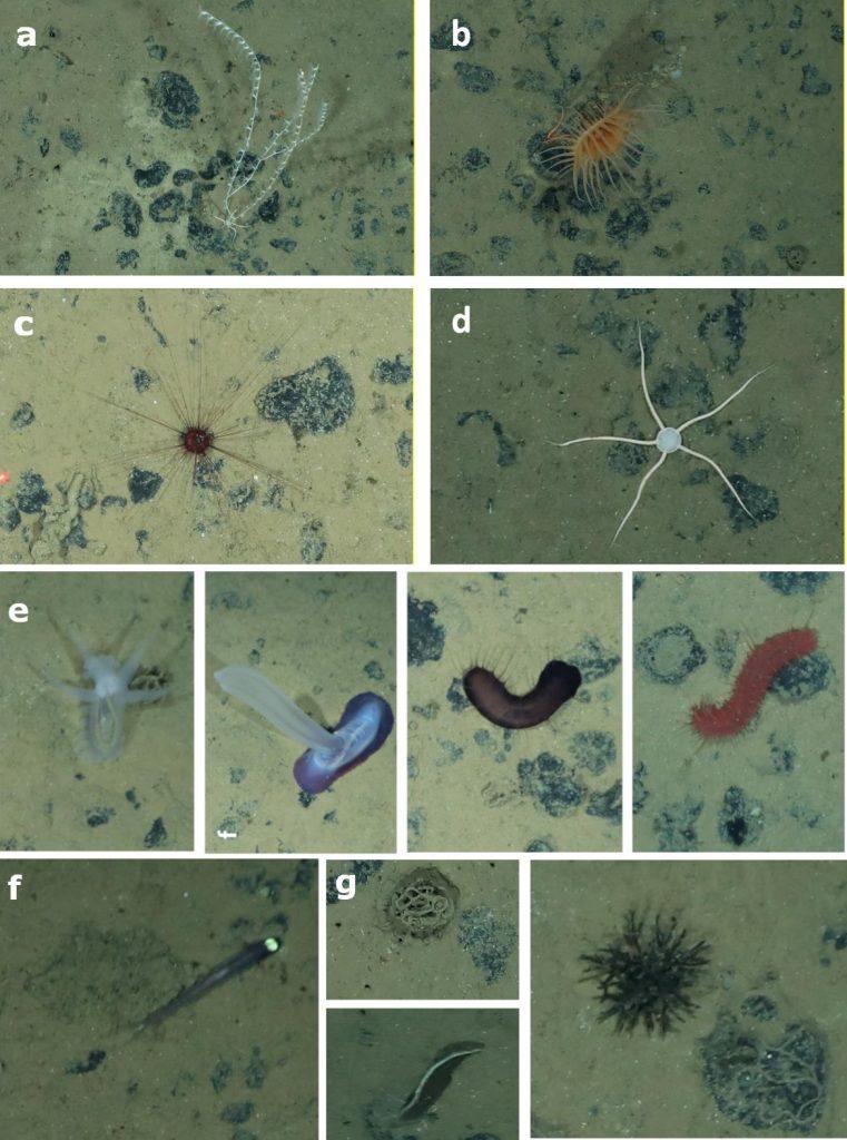 Fig 2. Selection of different animals observed in the German and Belgian license areas in the Clarion-Clipperton Fracture Zone. a) Coral (Alcyonacea) b) Anemone (Actiniaria), c) Sea urchin (Echinoidea), d) brittle star (Ophiuroidea), e) four different species of sea cucumbers (Holothuroidea), f)  fish (Ipnops sp.), g) different Xenophyophores and nodules covered with Komokiaceans / Auswahl von verschiedenen Tieren aus der Clarion Clipperton Zone, beobachtet in der deutschen und belgischen Zone. a) Koralle (Alcyonacea) b) Anemone (Actiniaria), c) Seeigel (Echinoidea), d) Schlangenstern (Ophiuroidea), e) vier verschiedene Seegurken (Holothuroidea), f) Tiefseefisch (Ipnops sp.), g) verschiedene Xenophyophora sowie Knollen, die mit mit Komokiacea bewachsen sind