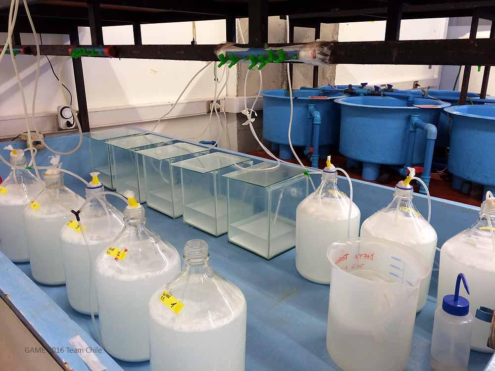 Incubating the microplastic in seawater.