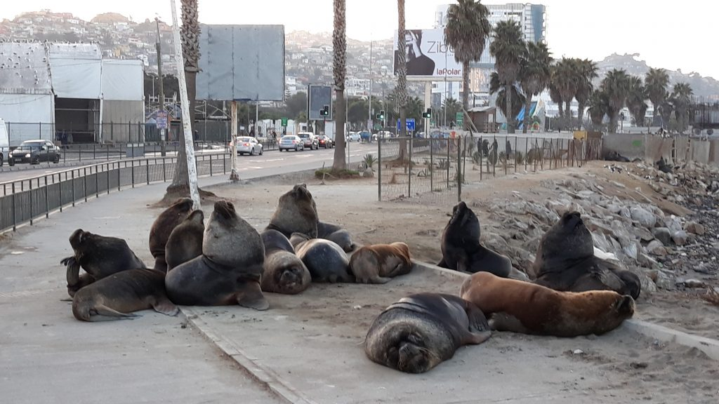 Sea Lions (Otaria flavescens) chilling in the streets of Coquimbo. They don't mind, if you cross by very close (Photo: Jonas Barkhau)