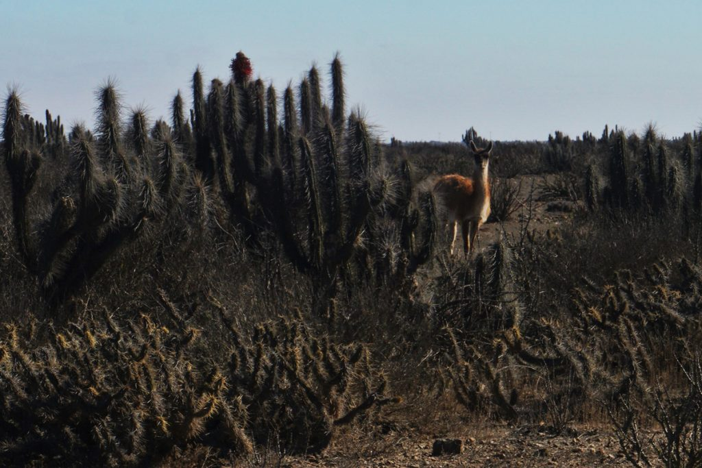 A guanaco (Lama guanicoe) hiding behind a cactus on our way to collect the mussels in Punta de Choros (Photo: Jonas Barkhau)