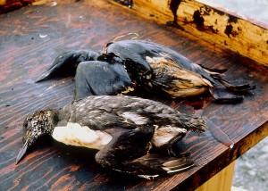 Birds killed as a result of oil from the Exxon Valdez spill (Exxon Valdez Oil Spill Trustee Council)