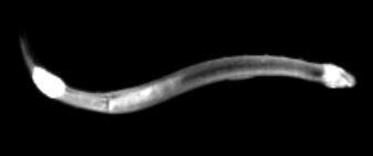 """First we have """"Chaetognatha"""" commonly known as arrow worms. They are found in all marine waters, from surface tropical waters and shallow tide pools to the deep sea and polar regions. Most them are transparent and are torpedo shaped, but some deep-sea species are orange. They range in size from 2 to 120 millimetres."""