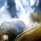 Miesmuscheln im Experiment. Foto: Warnk/Phol/Gall, GEOMAR