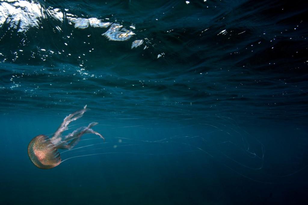 Eine Qualle in einem Meeresgebiet mit hohem CO2-Gehalt lässt sich von der Stömung treiben. Bald ein noch vertrauteres Bild in allen Gewässern? Bild: Jason Hall-Spencer