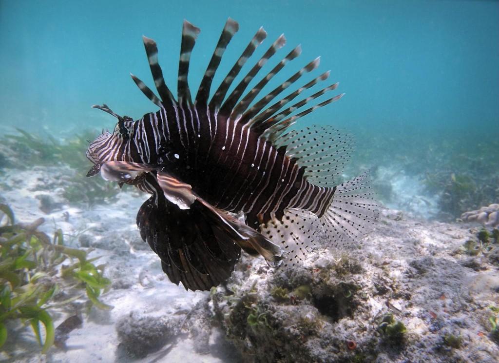 Rotfeuerfische gelten in vielen Meeresbereichen als schädliche invasive Arten. In der Karibik haben sie beispielsweise bereits die Artenzusammensetzung am Meeresboden von korallen- zu algendominiert verändert. Bild: Ro Allen