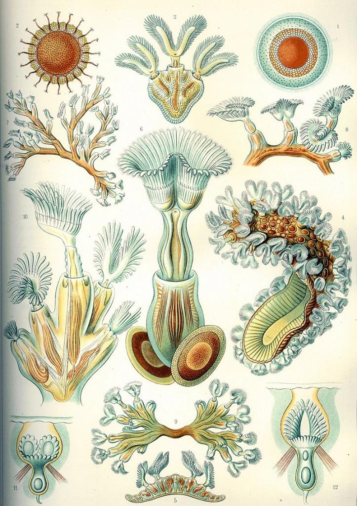 """Moostierchen - hier in ihrer vielleicht berühmtesten Darstellung durch Ernst Haeckel - könnten dazu beitragen, dass der Klimawandel aufgehalten wird. Bild: Ernst Haeckel """"Kunstformen der Natur"""" 1904, Tafel 23 Bryozoa Moostierchen. Via wikimedia commons, gemeinfrei"""