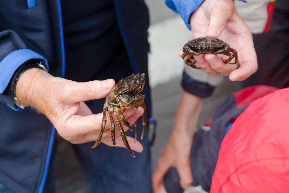 Mutige können auf auf dem Open Ship der Kieler Woche auch Krebse streicheln. Foto: Jan Steffen, GEOMAR