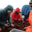 Begeistert wühlen die Teilnehmer durch das, was die Dredge ihnen an Bord gebracht hat: Rot- und Braunalgen, Muscheln, Seesterne, Würmer... Foto: G. Seidel, GEOMAR