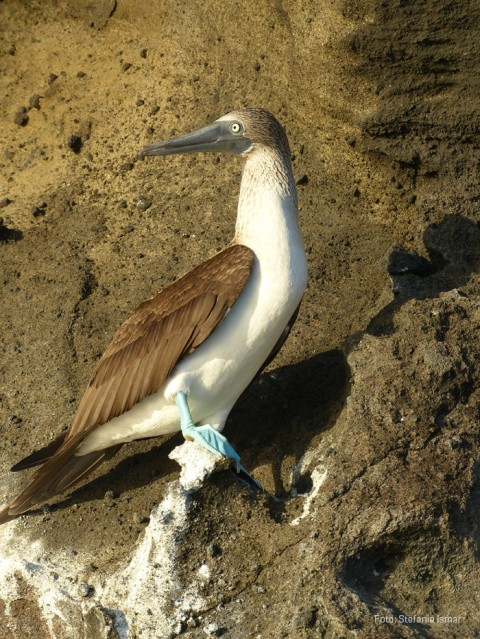 A blue-footed booby. Photo: Stefanie Ismar