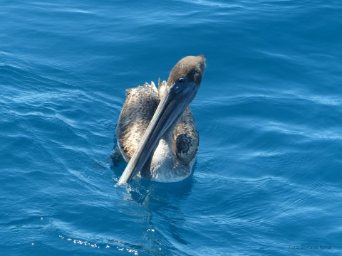 A brown pelican. Photo: Stefanie Ismar
