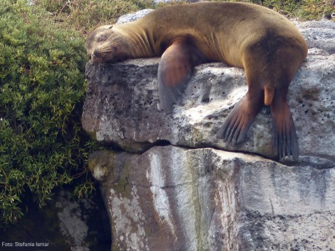 A sea lion dozing in the sun. Photo: Stefanie Ismar