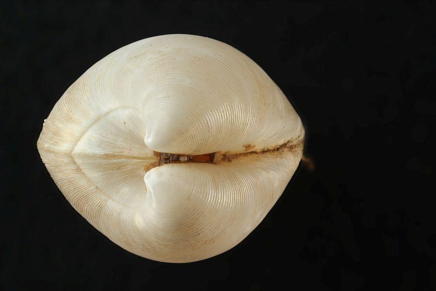 Vesicomya (Tiefseemuschel) von der Seite / Vesicomya deep-sea mussel) from the side. ©Torben Riehl