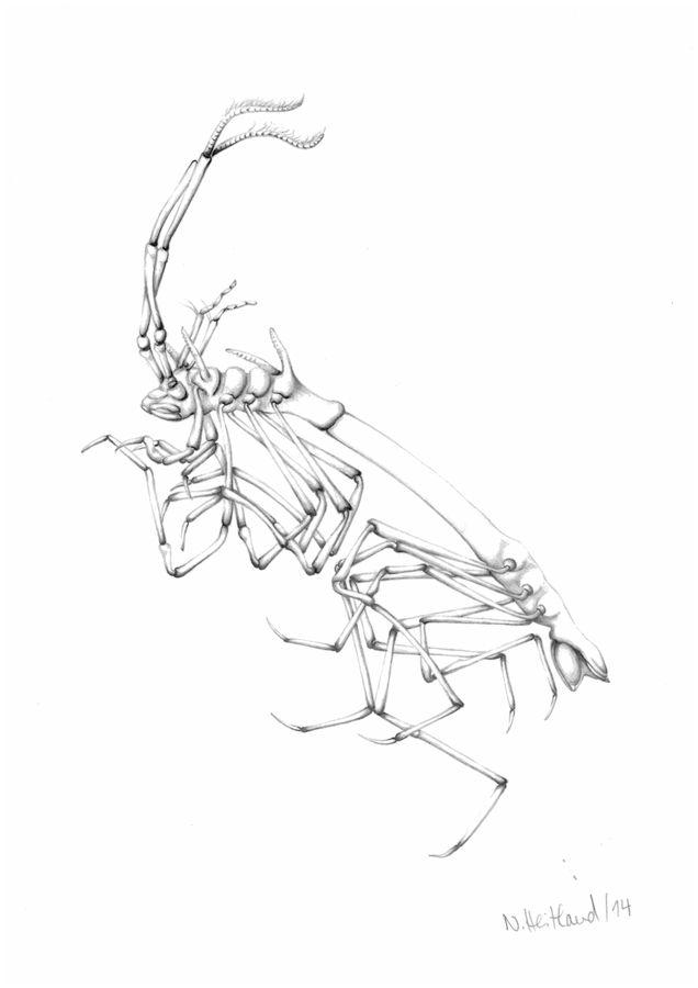Bleistiftzeichnung einer Ischnomeside / Pencil drawing of an Ischnomesid ©Nele Heitland