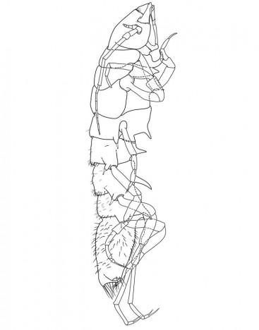 Die abgeleitete digitale Zeichnung der Macrostylide / Digital drawing of the Macrostylid ©Torben Riehl
