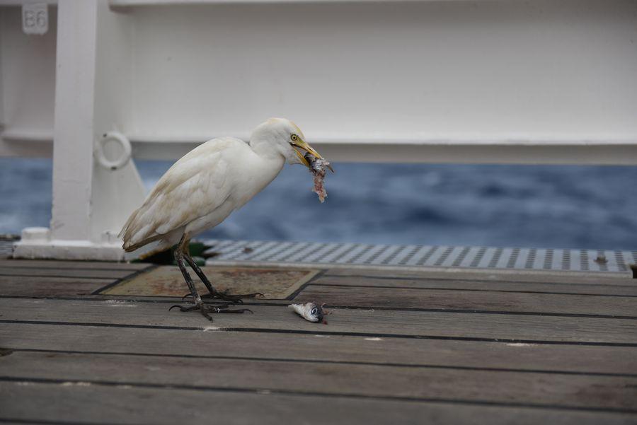 Kuhreiher bei der Mahlzeit / cattle egret eating. ©Ivan Voltski