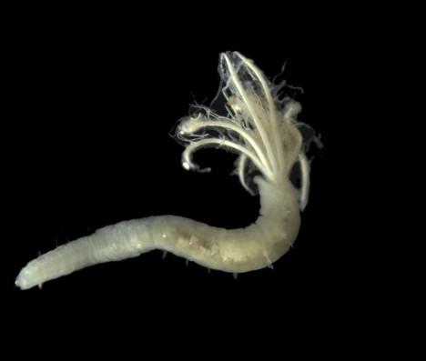 """Ein sogenannter """"Fächerwurm"""" (Sabellidae) aus der Tiefsee / So called """"fan worms"""" (Sabellidae) of the deep sea. ©Torben Riehl"""