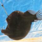 Angler Fish. Photo: Maike Ladehoff